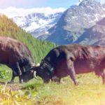 Vache race d'Hérens